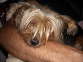 My Champion Yorkshire Terrier-08 by hummingbird88