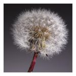 Flower: dandelion by uosiek1