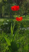 Two red tulips by TinyWild