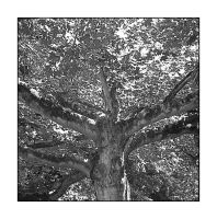 Up tree shot, B+W.617, with story by harrietsfriend