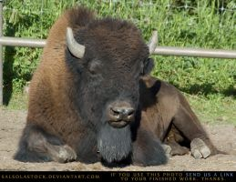 Bison 1 by SalsolaStock
