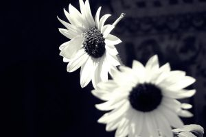 Sunflowers and Shadows 7 by Identifyed-Khaos