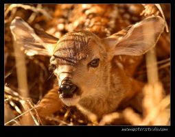 Newborn Fawn by pictureguy