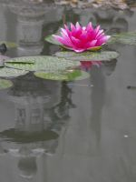 water lily with reflection by freaky-x