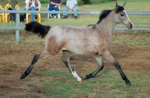JA Arab yearling extended trot side view by Chunga-Stock