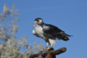 Falcon - 3 by Silver-Stock-Images
