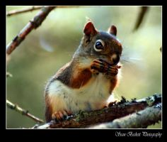 Red Squirrel by seanbeckettvt