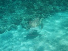 TME Akumal, Mexico: Green Sea Turtle III by Namyr