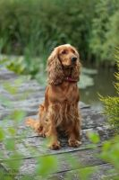 Spaniel by Polciak