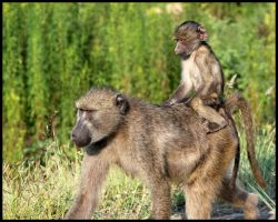 Baby Baboon taking a Ride by mikewilson83