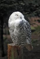 Hedwig by cYpher2304
