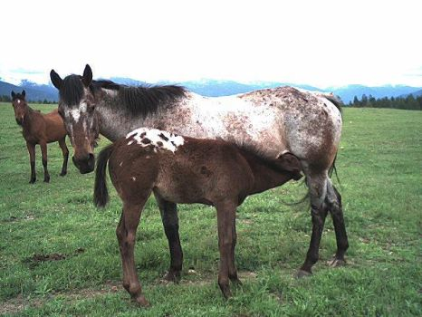 Appy mare and foal by TwilightArabians
