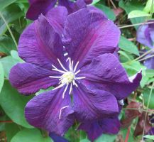 Lilac clematis 4 by Kattvinge