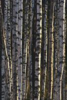 Birch Wall #1 by perost