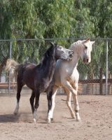HORSE STOCK- Duke and Buddy 4 by kittykitty5150