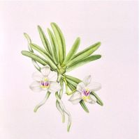 Miniature orchid nr 2/4 - small watercolor by MasdevalliaJR