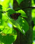 Monarch Butterfly by Digibug