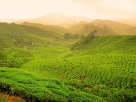 Green Tea Plantation by kuma-x