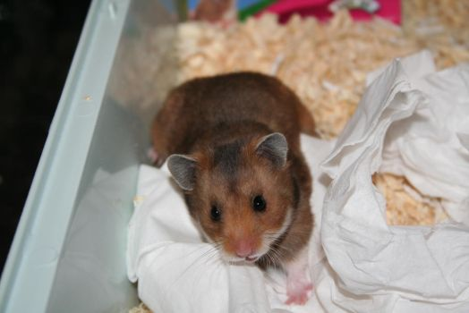 New Baby Hamster 2 by tammyins