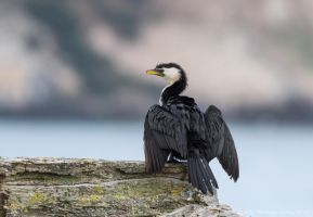 Shag by ARC-Photographic