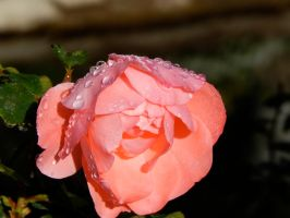Pink Flower by bowencormac