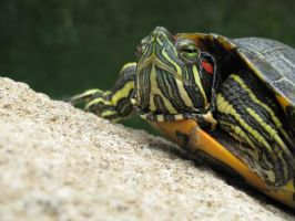Stocker Terrapin by flame-instinct