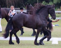 STOCK - Friesian Show 2012-111 by fillyrox