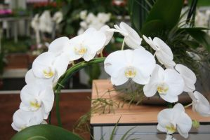 nice white orchids 5 by ingeline-art