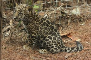 Jaguar Cub 2 by RhiskandPeril