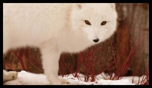 White fox 2 by Mildy