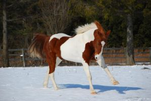 Pinto Horse 14 by ErikaChristine