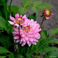 Dahlia en trio et rose I by hyneige
