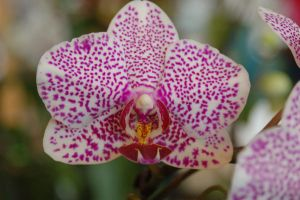 Orchid by vicissitude-stock
