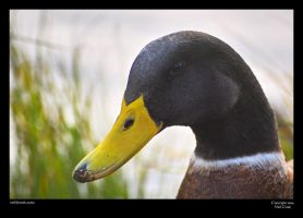 River duck by neilcreek
