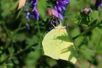 Brimstone Butterfly   Zitronenfalter 7 by bluesgrass