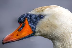 Swantrait HDR by teslaextreme