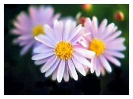 New York Aster by lovingenglish