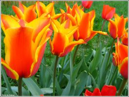 Coloured Tulips for Suzi by Iuliaq