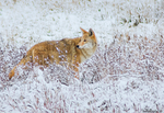 Coyote In Snow II by kkart