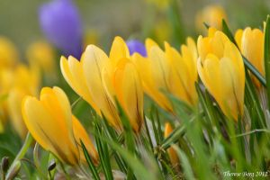 Crocus 2 by ThereseBorg
