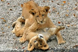 Cub Fight2 by brijome