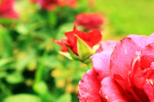 a rose and rows of roses by hannahroseison
