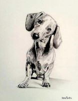 cute sausage dog by stevenbeattie