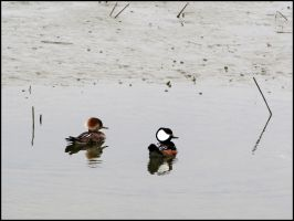 Hooded Mergansers by StormPetral0509