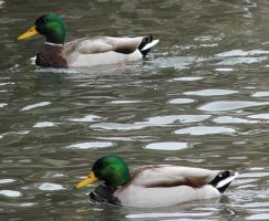Two Ducks by ncRabbit