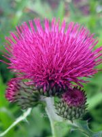 Marsh Thistle by iriscup