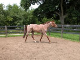 Red Roan Stallion Stock 2 by StridingStrong-Stock