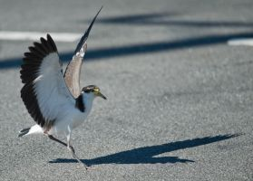 Spur winged plover 04 by 88-Lawstock