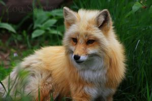 Foxy by Sagittor