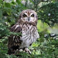 Short-eared Owl by SnowPoring